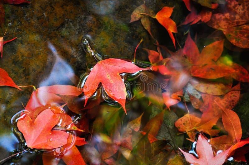 Красный клен на воде стоковые изображения rf