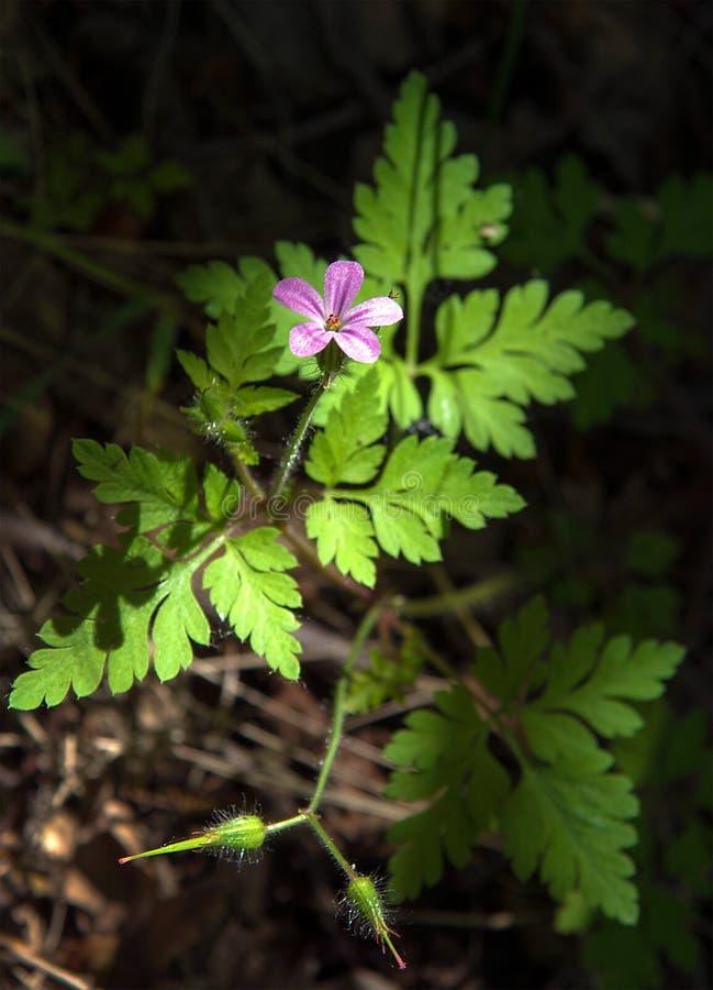 Красный лес робина весной стоковые изображения