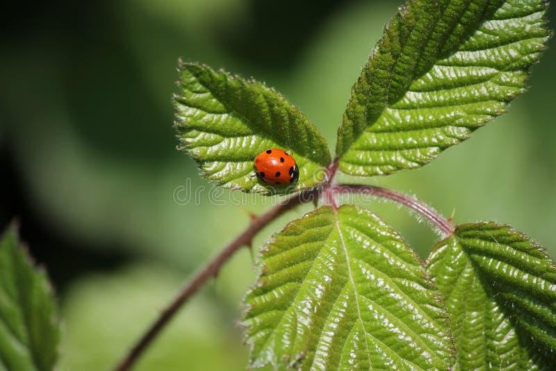 Красный макроса милый и черный ladybug, ladybird, жук, на зеленых лист стоковые изображения rf