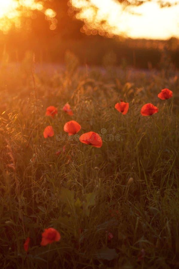 Красный мак зацветая на поле Красные цветки мака в масличном семени r стоковые изображения rf