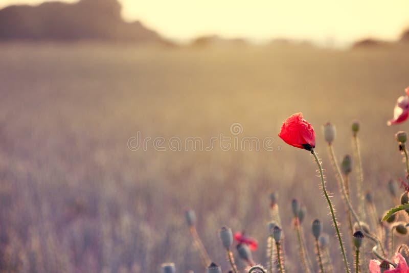 Красный мак на краю поля в выравниваясь солнце стоковые изображения
