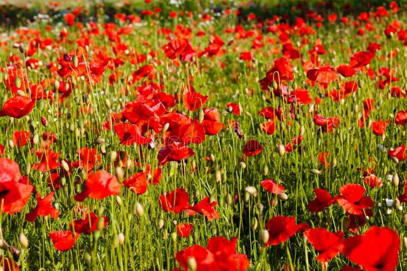 Красный мак стоковое фото rf