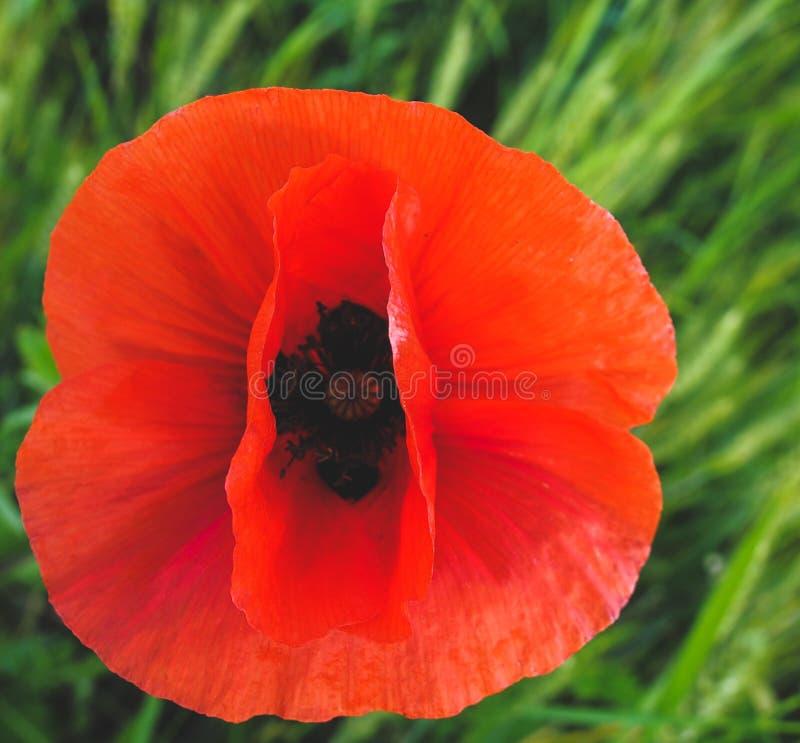 Красный мак стоковое фото