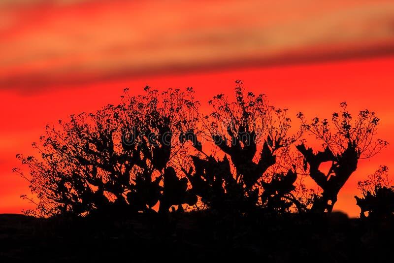 Красный, малиновый, оранжевый, небо захода солнца шарлаха с черным силуэтом куста Сценарное красочное живое красное оранжевое bac стоковое изображение rf