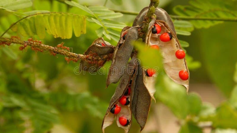 Красный муравей и красные семена над деревом стоковые изображения rf
