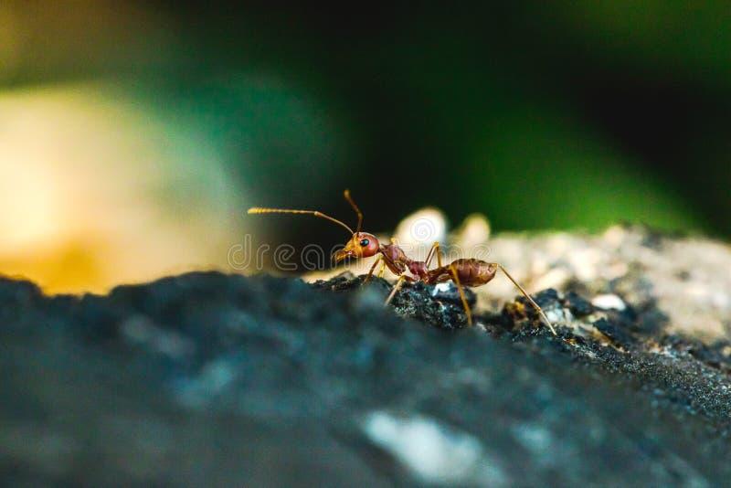 Красный муравей на дереве свирепое животное стоковое изображение rf