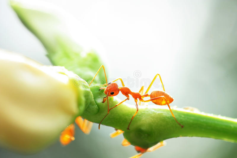 Красный муравей стоковые фото