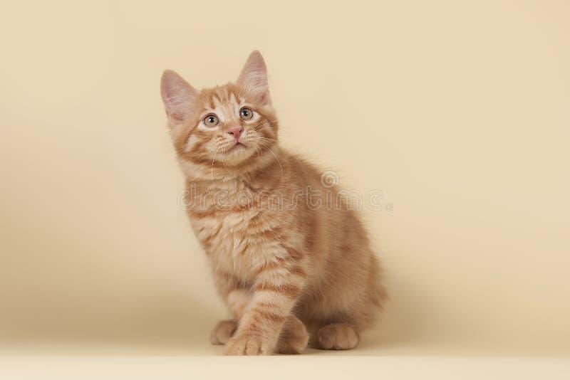 Красный, небольшой котенок на предпосылке сливк студии стоковое изображение rf