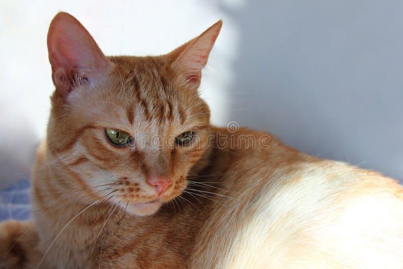 Красный отдыхать кота крытый стоковая фотография