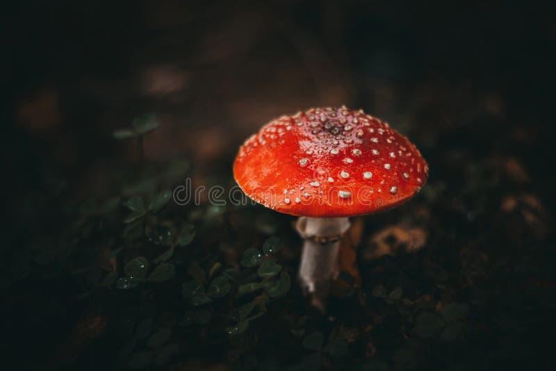 Красный пластинчатый гриб мухы на темной предпосылке в грибе леса ядовитом o Гриб с красной шляпой с белыми точками стоковая фотография