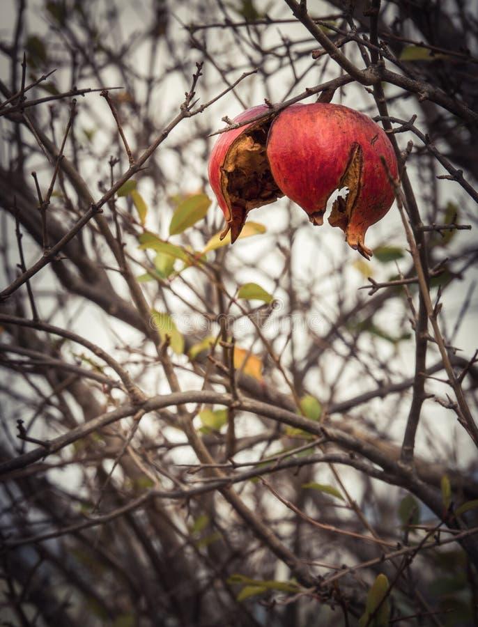 Красный плод гранатового дерева в зиме в Греции на пасмурный день после дождя стоковые изображения