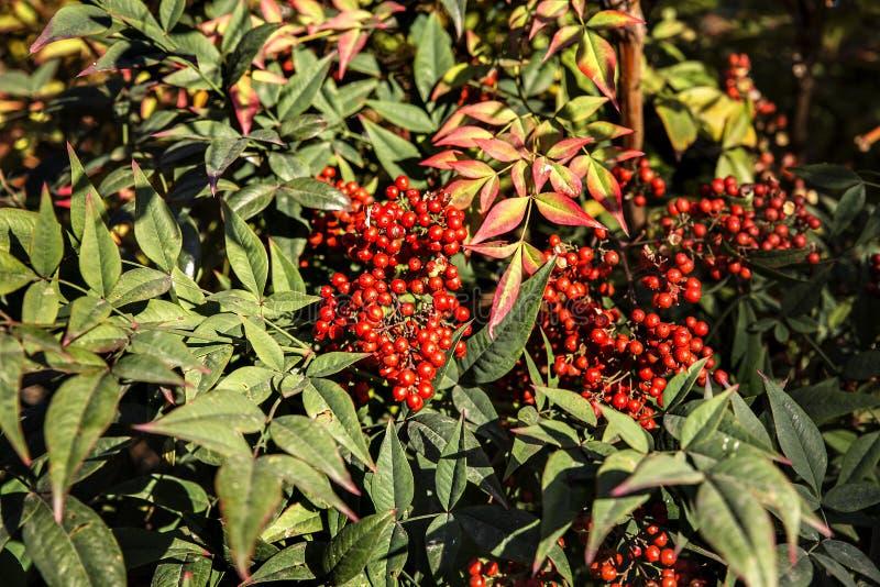 Красный плод на зеленом japonica Aucuba кустарника стоковая фотография rf