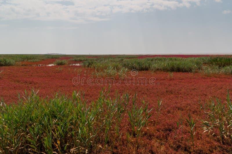 Красный пляж Panjin в Ляонине, Китае стоковая фотография rf