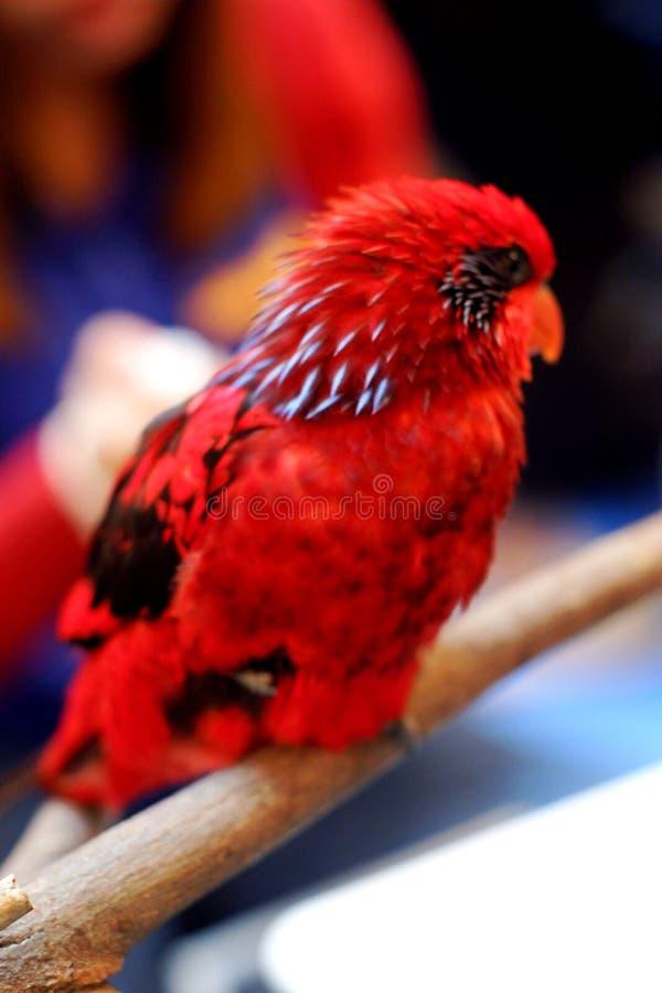 Красный попугай пигмея стоковые изображения rf