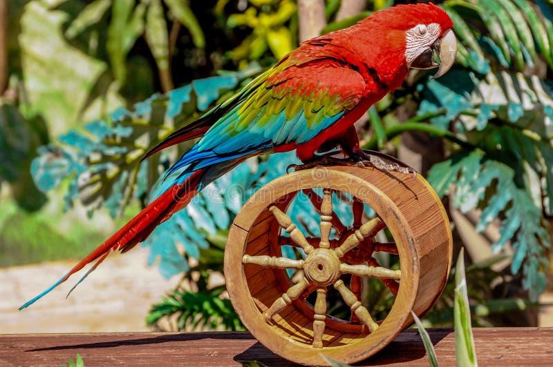 Красный попугай птицы стоковое изображение