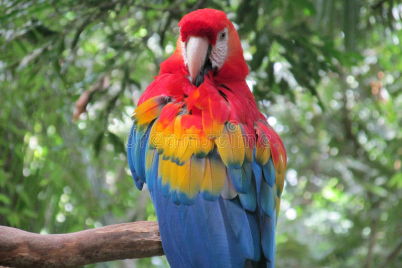 Красный попугай Ara стоковая фотография