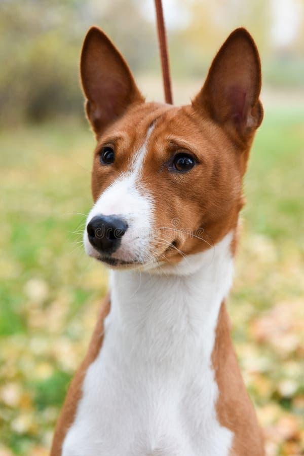 Красный портрет собаки Basenji на природе стоковое фото rf