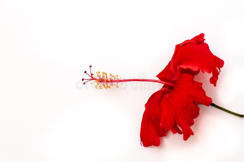Красный профиль цветения Amapola гибискуса изолированный на белизне стоковое изображение rf