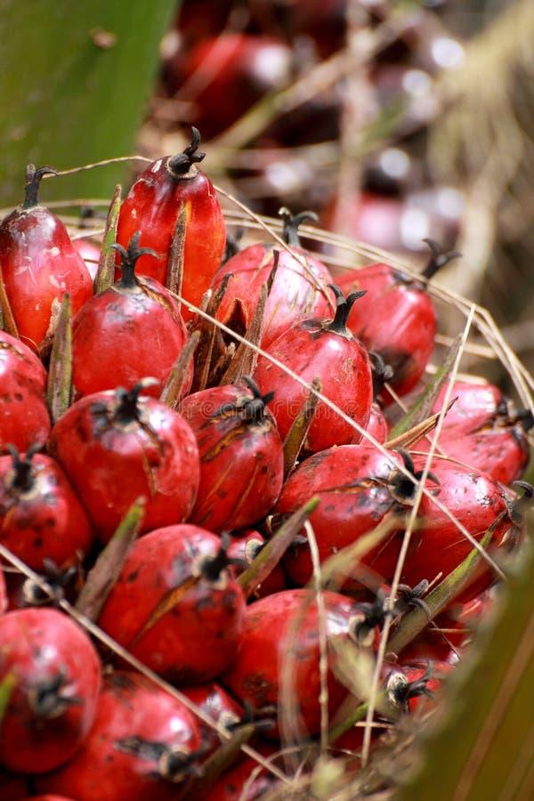 Красный плодоовощ ладони стоковое фото rf