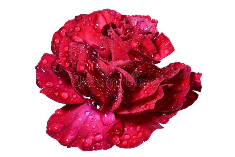 Download Красный розовый цветок стоковое фото. изображение насчитывающей торжество - 40586918