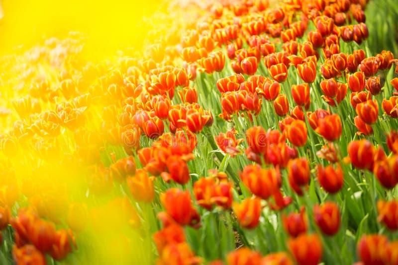Красный сад тюльпана стоковые изображения