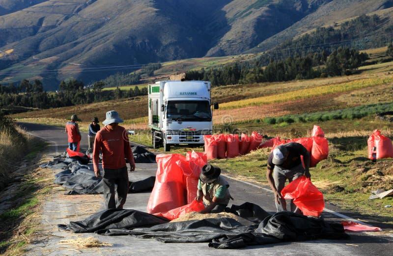 Красный сбор на дороге, андийские гористые местности Перу квиноа стоковое фото rf