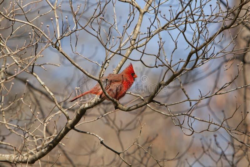 Красный северный кардинал в дереве кизила стоковая фотография rf