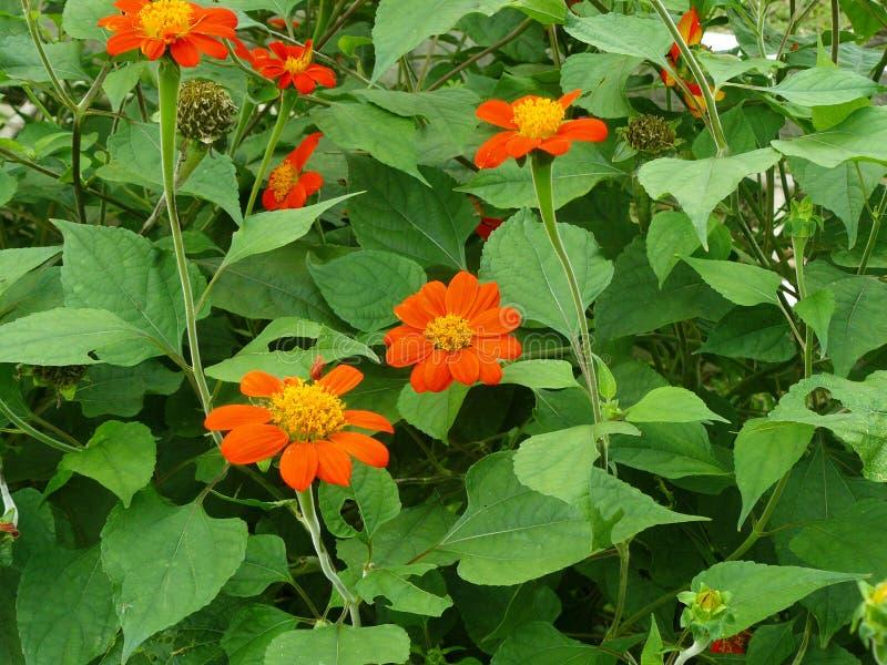 Красный солнцецвет или мексиканский солнцецвет стоковая фотография
