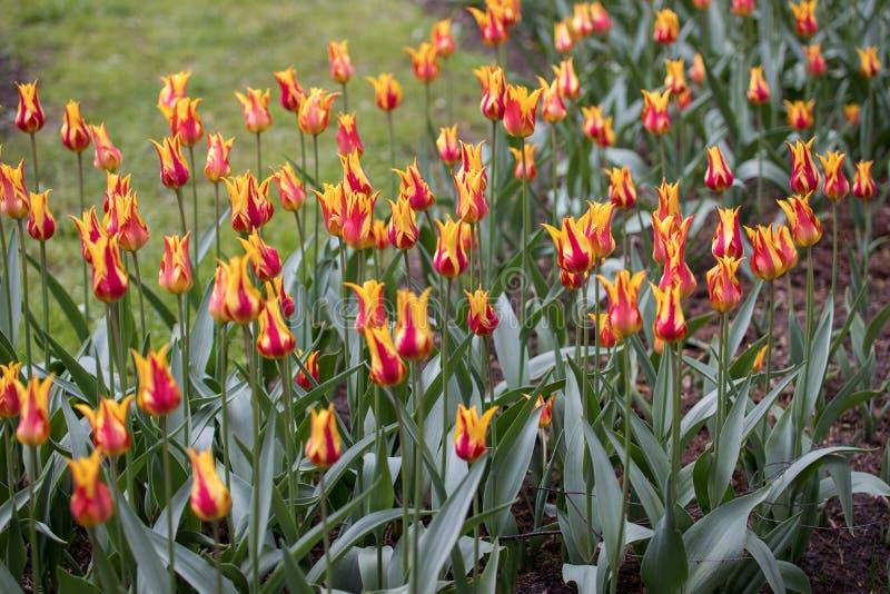 Красный с желтыми тюльпанами на flowerbed стоковые фото