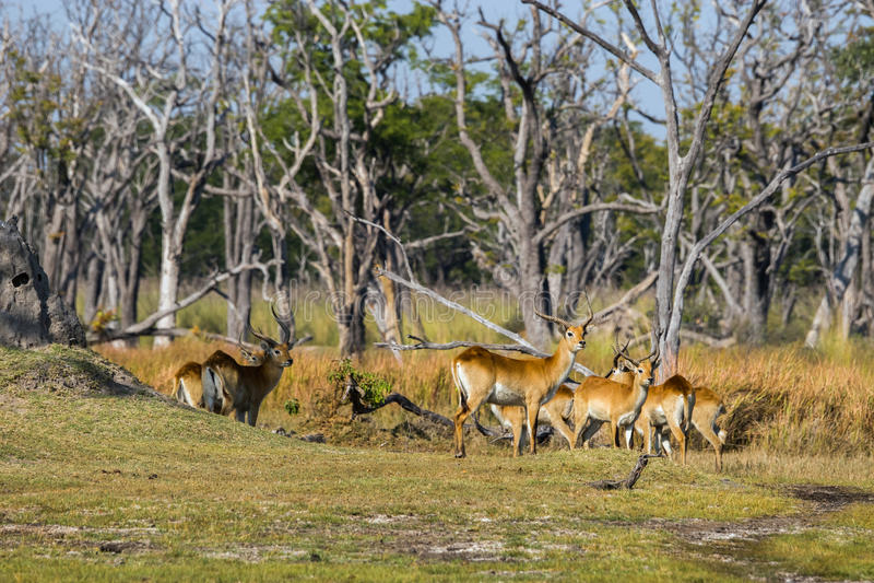 Красный табун lechwe стоя в лесе стоковые изображения rf