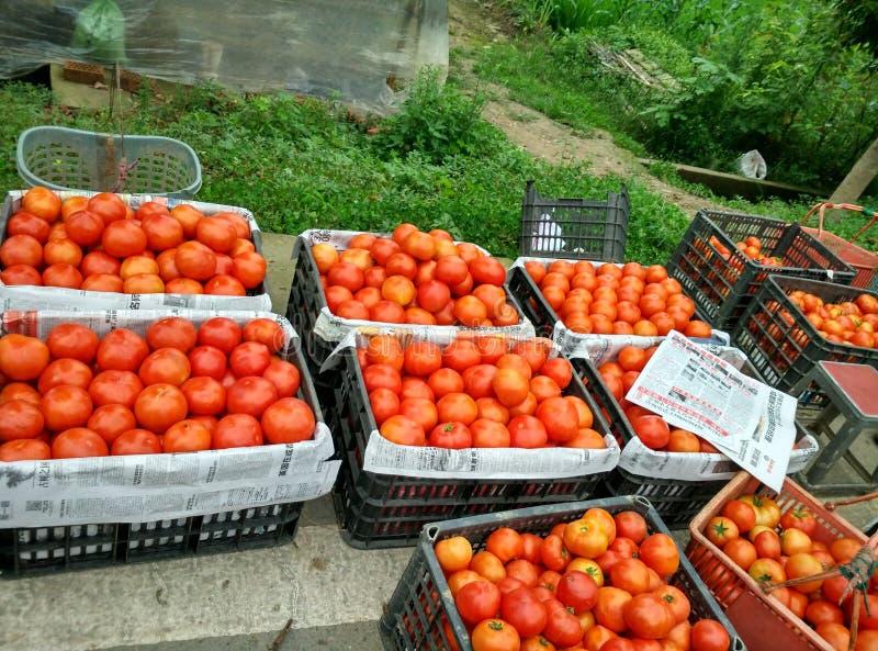 красный томат стоковое фото rf