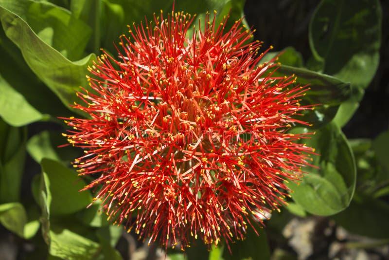 Красный тропический цветок на естественной предпосылке стоковые изображения rf