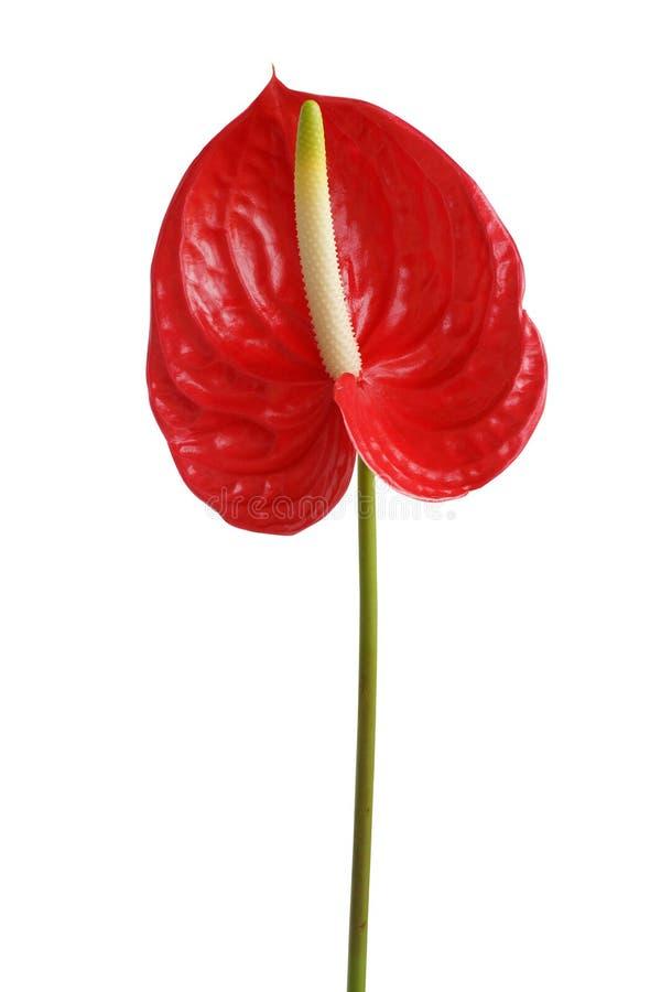 Красный тропический цветок стоковые фото