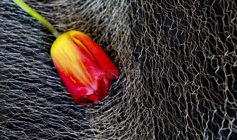 Красный тюльпан на черной предпосылке чувствительный цветок тюльпана с красными лепестками и яркими ыми-зелен листьями на темной  стоковое фото