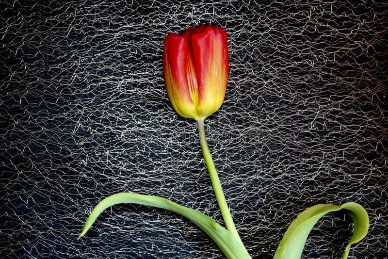 Красный тюльпан на черной предпосылке чувствительный цветок тюльпана с красными лепестками и яркими ыми-зелен листьями на темной  стоковые фотографии rf