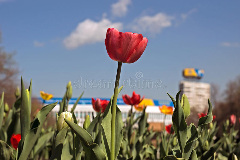 Красный тюльпан против неба стоковое фото