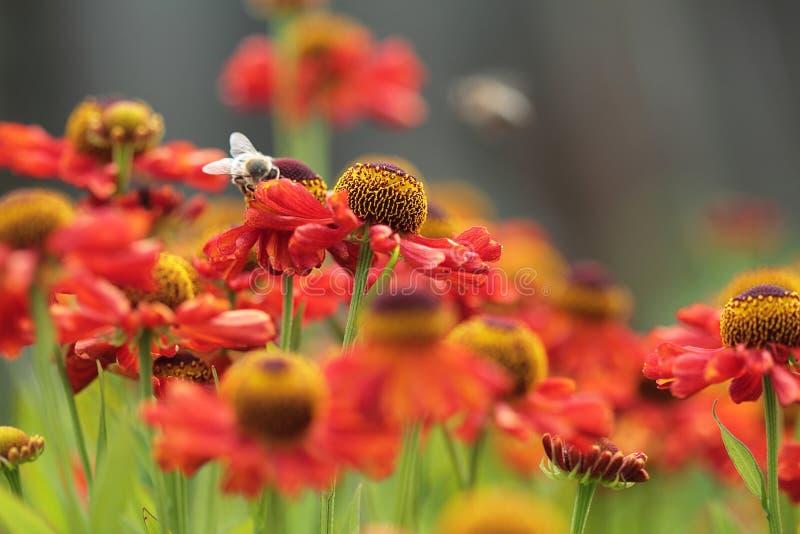 Красный луг цветка желтый цвет весны лужка одуванчиков предпосылки полный Мед пчелы на красных цветках стоковые изображения