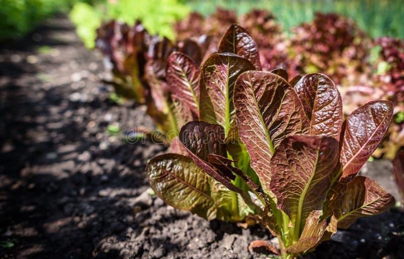 Красный урожай салата стоковая фотография rf