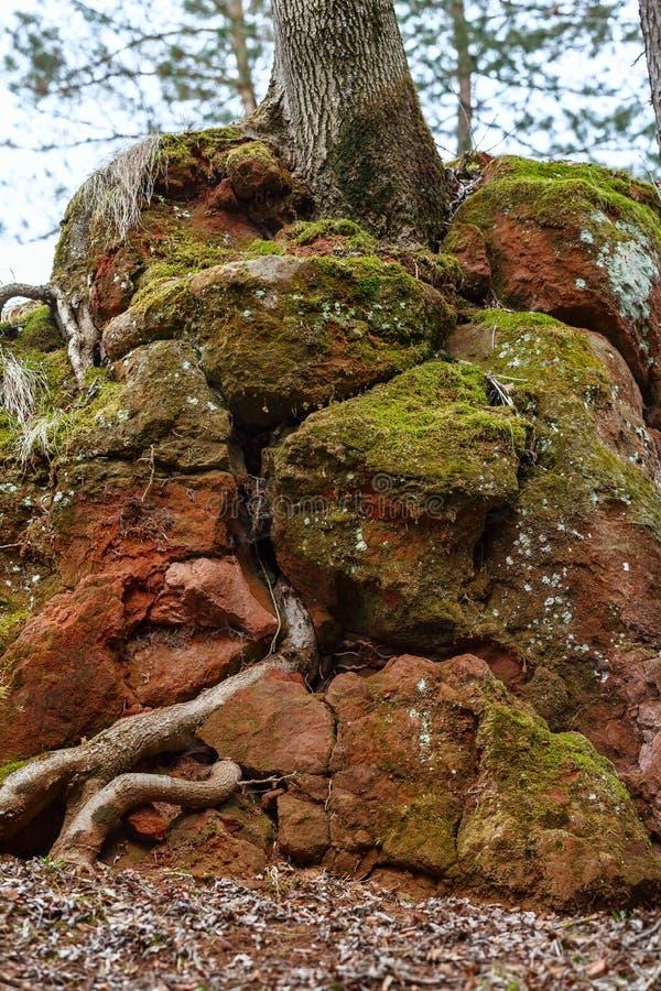 Красный утес через который корни дерева пускали ростии органическая текстура kislovodsk Россия стоковое фото