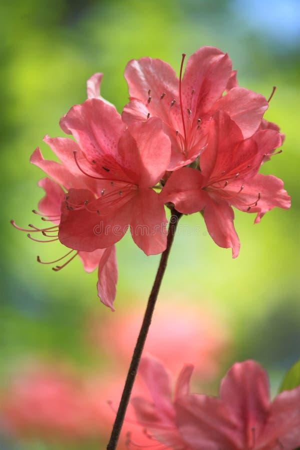 Красный цветок азалии стоковая фотография rf