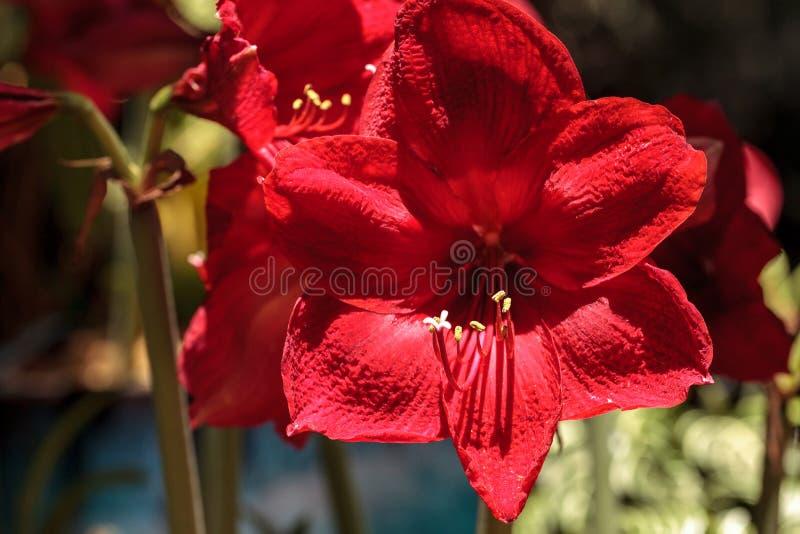 Красный цветок амарулиса Hippeastrum гибридный стоковые фото
