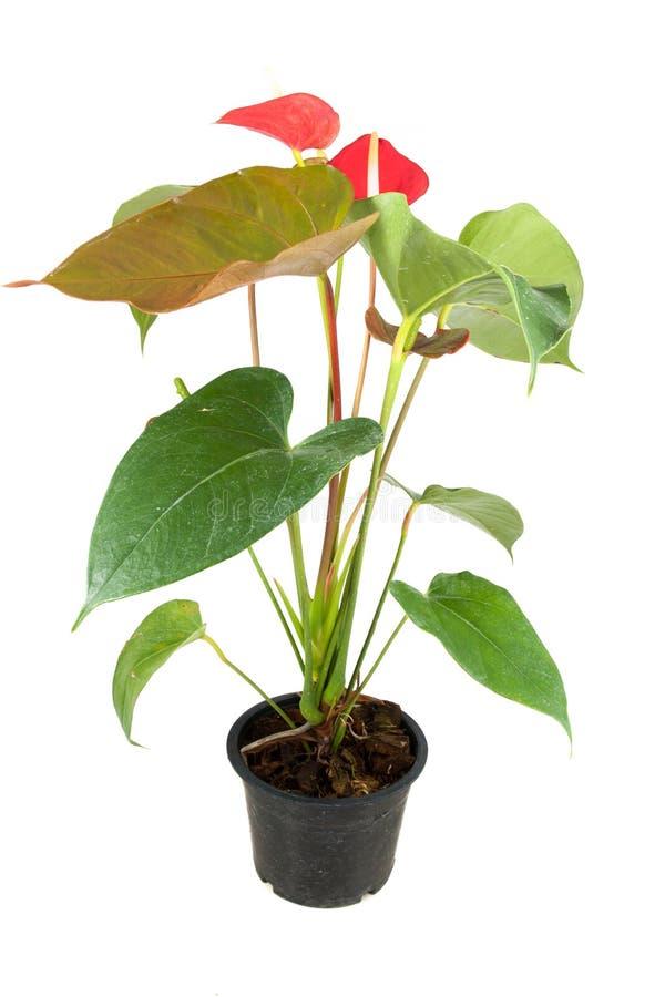 Красный цветок антуриума стоковое изображение