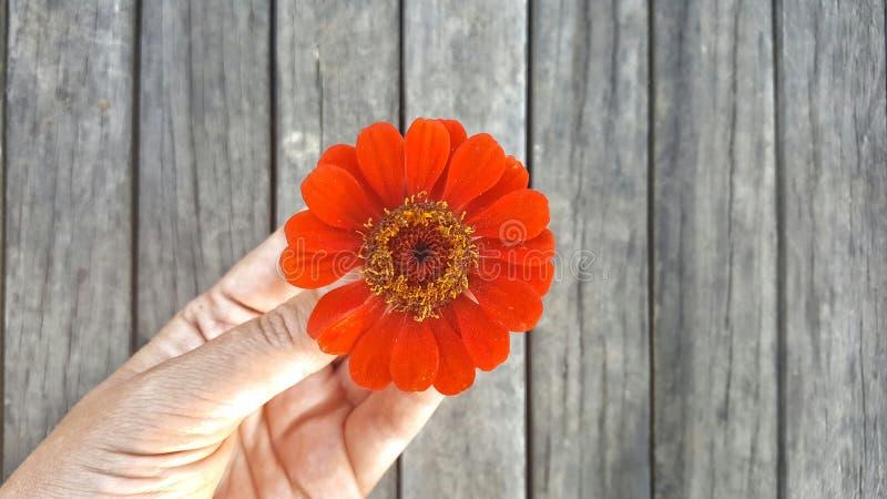 Красный цветок в руке, взгляд сверху Концепция нежности влюбленности романтичная стоковое фото