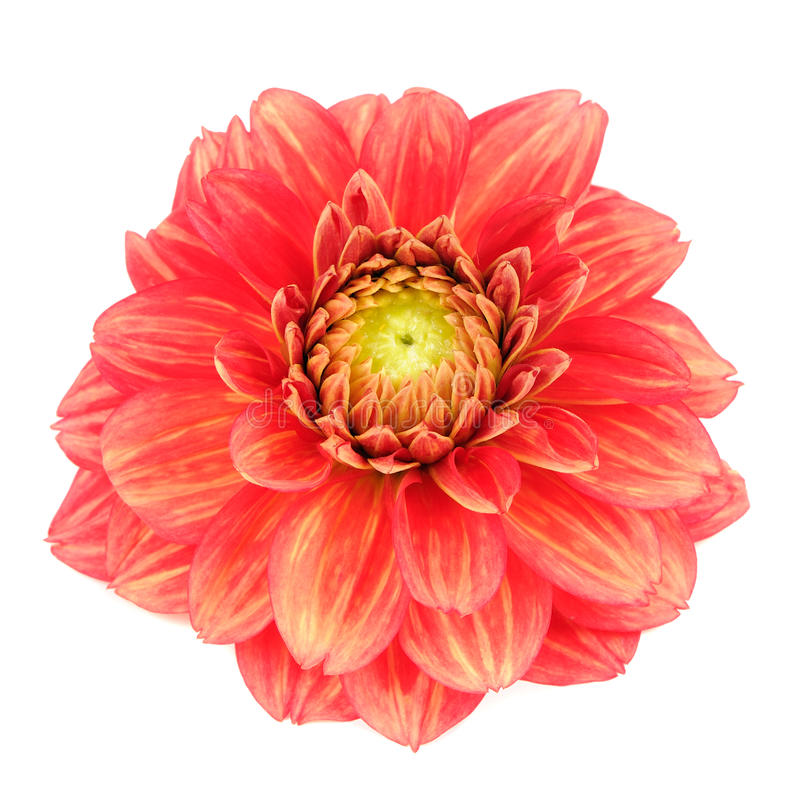 Красный цветок георгина при желтые нашивки изолированные на белой предпосылке стоковые изображения rf
