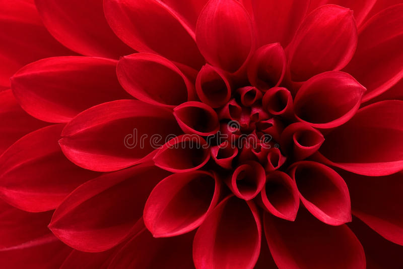 Красный цветок георгина стоковое изображение rf