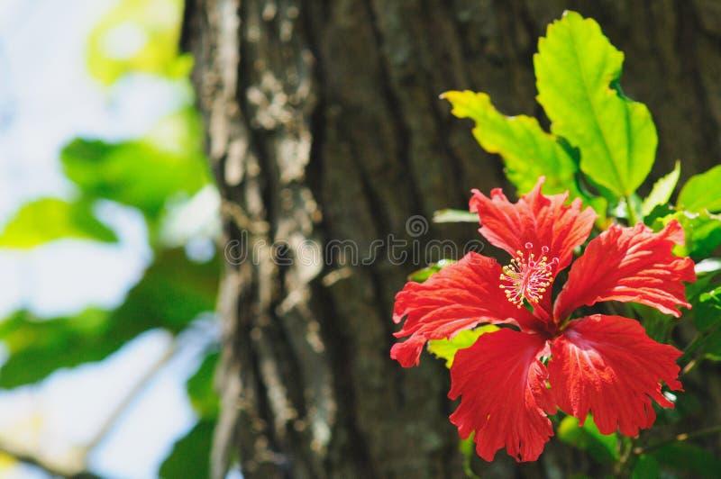 Красный цветок гибискуса стоковое фото