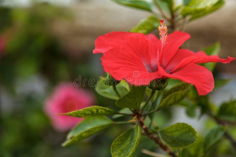 Красный цветок гибискуса на зеленой предпосылке в тропическом саде стоковое изображение rf