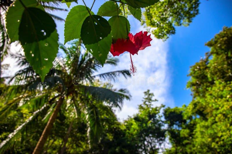 Красный цветок гибискуса с листьями в природе тропического леса дикой на тропическом острове Красный тропический цветок на кусте стоковое изображение