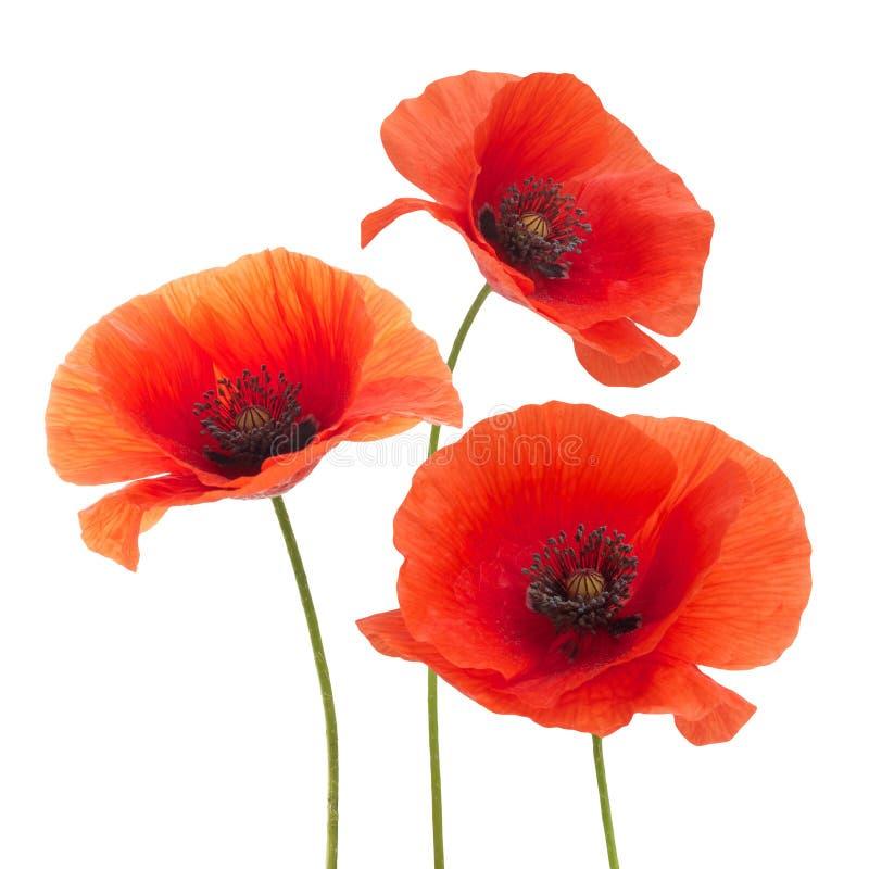 Красный цветок мака изолированный на белизне стоковые изображения
