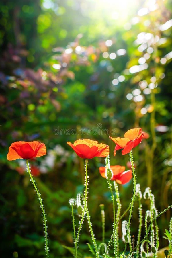 Красный цветок мака против лучей солнца стоковое изображение rf